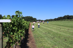 IMG_9096 (UGA CAES/Extension) Tags: vineyard wine winery stonepilevineyard viticulture viticultureteam northgeorgia winecountry ugacooperativeextension uga extension grapes ugaextension cainhickey
