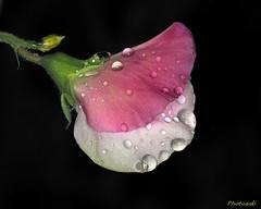 Sweet Pea-10 (photozaki) Tags: sweetpea sweetpeaintherain rain sweetpeaflower flower plant macro closeup water waterdrops