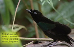 Black bird thought (farkous) Tags: birdquotation wandering quotation nature trees leafs blackbird thought