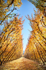 Autumn Orchards Of Cromwell || SOUTH ISLAND || NZ (rhyspope) Tags: nz new zealand cromwell queenstown autumn fall fruit orchard yellow red orange tree row lines repetition rhys pope rhyspope canon 5d mkii color colour foliage travel amazing wow tourist
