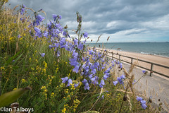 Harebells Aberdeen Beach (Ian R T) Tags: harebell aberdeen aberdeenbeach wildflower