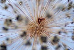 Allium Seedhead (only lines) Tags: allium flower seedhead seeds garden