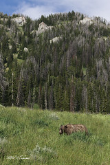 Grizzly On A Walk_T3W0378 (Alfred J. Lockwood Photography) Tags: alfredjlockwood nature wildlife wildscape grizzlybear adolescent grasses wyoming forest rockymountains afternoon summer grandtetonnationalpark trees