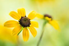 rudbeckia 2313 (junjiaoyama) Tags: japan flower plant yellow summer bokeh macro rudbeckia blackeyedsusan