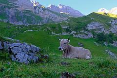 Swisscow (cotrog81) Tags: appenzellinnerrhoden appenzell alpsteinmassiv alpstein alpsteinview swiss swissalps swisscow cow kuh switzerland helvetica schweiz suisse svizra schweizerische hiking trail trecking x100f fujifilm fujilove fuji fujifilmx100f bergwelten bergwelt weide bergweide
