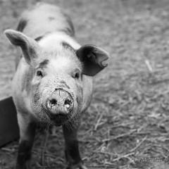 Piglet (gissberg) Tags: sonya7iii fe2470f28gm ilce7m3 sel2470gm piglet pig blackandwhite bokeh disagården gamlauppsala uppsala