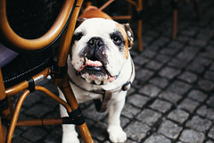 Casual observations of an underbite. (ewitsoe) Tags: 0mm canoneos6dii street warszawa erikwitsoe streetphotography summer urban warsaw bulldog bull friend teeth underthetable dog friendly sohandsome canon petanimal tablle chair outdoorcafe coffee