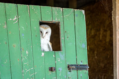 Peeping Out (freyjad1706) Tags: barnowl birds blip smjfalconry