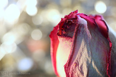 a rose is still a rose ... (photos4dreams) Tags: decay rose macromondays macro makro photos4dreams p4d photos4dreamz verfall