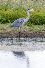 heron-9820 (D4vidL) Tags: canon 80d sigma 150600 grey heron whisby lakes