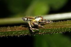 Salticidae sp. ♀ (Jumping Spider) - Kibale, Uganda (Nick Dean1) Tags: animalia arthropoda arthropod arachnid arachnidae salticidae spider jumpingspider kibalenationalpark kibale uganda