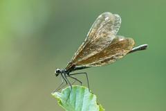 Calopteryx wings (tarjangz) Tags: calopterygidae calopteryxvirgo deutschland europe európa germany kisasszonyszitakötő lindau németország odonata színesszárnyúszitakötők zygoptera passau bayern de