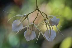 Brassavola nodosa 'Godzilla' AM/AOS (ACEZandEIGHTZ) Tags: orchid species nikon d3200 bokeh closeup coth alittlebeauty coth5 sunrays5