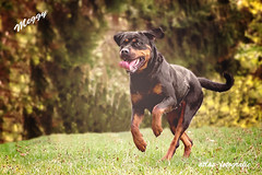 Dog - Meggy (atlas-fotografie) Tags: dog outdoor rottweiler pets outdoorphotography