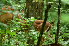 Deer Fawn in the Woods_1720 (Porch Dog) Tags: 2018 garywhittington nikond750 nikkor200500mm wildlife nature kentucky lbl landbetweenthelakes betweentherivers fallowdeer