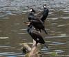 Comorants (Rourkeor) Tags: scotland unitedkingdom gb culzean ayrshire log water ripples reflections birds olympus omd em1mk2 12100mmpro mft