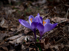 Crocus (Crocus), Southern Finland (valentin hintikka) Tags: nikkorsauto35mmf28preai crocus macro flower spring dof olympus microfourthirds m43 epm1 manuallens finland 70mmequivalentfov