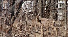 Oh 3 deer _MG_5236 (dodochampo) Tags: deer whitetail gatineau cerf virginie neige spring printemps snow arbres