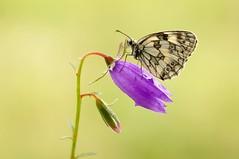 Secret My Life... (Zbyszek Walkiewicz) Tags: sony closeup butterflies butterfly