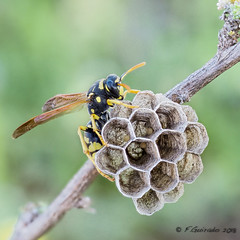 Nest patrol (Fernando Guirado) Tags: macro flickr avispa nest patrol macrofotografia macrophoto macrophotography macrofoto macromonday macromondays closeup olympus em1mk2 em1ii 60mm 60mmmacro wasp wildlife bokeh green