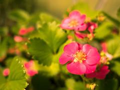 Little findings in grandpa's garden (hasenkeks_deluxe) Tags: erdbeere erdbeerblüte strawberry blossom flower garden plant pink panasonic lumix gx80 gx85 sigma 19mm