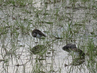 Least and Semipalmated Sandpipers 3