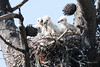 An early breakfast (morrobayrich) Tags: redtailedhawks chicks mouse breakfast nest