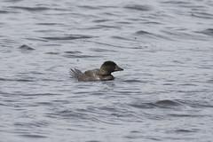Musk Duck (Baractus) Tags: musk duck john oates narawntapu national park tasmania australia inala nature tours