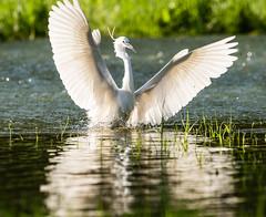 Landing angel (Bereczki Zoltán László) Tags: nature birds heron tisza hungary tiszaalpár nikon nikond810 nikon200500 wildlife colour floodplain spring