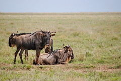Голубой гну, Connochaetes taurinus, Blue Wildebeest (Oleg Nomad) Tags: голубойгну connochaetestaurinus bluewildebeest африка танзания серенгети животные природа сафари africa tanzania serengeti nature animals safari travel