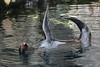 Aqua aerobics - Seal style! (charliejb) Tags: northamericanfurseal furseal seal fur furry furred mammal 2018 water pool bristolzoo bristol clifton wildlife