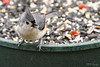 tufted titmouse 2 (Keith Drevecky) Tags: feeder tufted titmouse