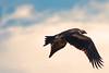 Wedge Tailed Eagle Closed Wings (david.john.lee) Tags: eagle wedgetailedeagle canberra australia