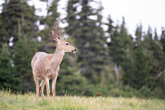 Washington Vacation - Day 2 (92 of 97) (Quentin Biles) Tags: 15028 d850 ex hurricaneridge macro nikon os olympicnationalpark sigma washington deer