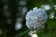 DSC04206 (@saka) Tags: autoupload flowers 69646981 leaves 1030 street 346