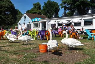 Canoe Lake Swans