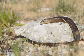 Glass Lizard (Pseudopus apodus)