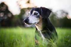 Moving On (Olizwell) Tags: leon dachshund dog old white fur grass field bokeh cool toned littledoglaughedstories