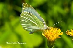 IMG_6249 (nitinpatel2) Tags: butterfly macro nature nitinpatel