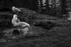 DSC00341 (Damir Govorcin Photography) Tags: bird lateafternoon burwood park sydney water blackwhite monochrome natural light sony a9 100mm stf lens
