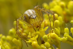 Lynx spider (uko2) Tags: macro insect animal flower canon tamron180 spiders spider