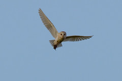 Barn Owl (Terry Angus) Tags: owl barn barny barnowl bird