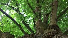 Horse Chestnut (Aesculus hippocastanum) - canopy - August 2018 (Exeter Trees UK) Tags: horse chestnut aesculus hippocastanum canopy august 2018