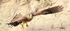 Kestrel- Falco tinnunculus (Mick Lowe) Tags: kestrel tinnunculus beach banks falco raptor durhamcoast flight sand nature crimdon bird