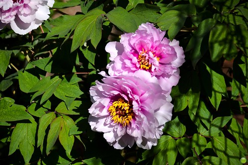 Peonies in full bloom