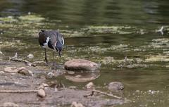 9Q6A1711 (2) (Alinbidford) Tags: alancurtis alinbidford brandonmarsh lapwing nature wildbirds