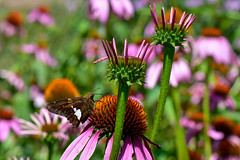 Silver Spotted Skipper Butterfly with Echinacea (thatSandygirl) Tags: butterfly skipper silverspottedskipper echinacia coneflower pollinator prairie pink green epargyreusclarus