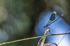 Caloptéryx éclatant (Dakysto94) Tags: macro proxi proxy proxiphoto nature odonate odonata libellule libellula dragonfly demoiselle damselfly calopteryx insecte insect animal france iledefrance