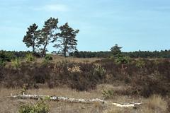 (turquoise monkey) Tags: revueflexsd1 kodakportra iso160 takumar55mmf18 dehogeveluwe gelderland netherlands forest