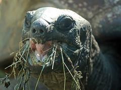 Aldabra turtle Artis JN6A1506 (j.a.kok) Tags: schildpad turtle aldabraschildpad aldabraturtle reuzenschildpad reptile reptiel animal artis giantturtle